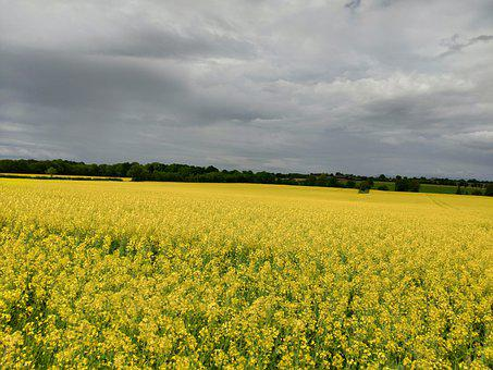 Rapeseed, Canola Field, Field, Agriculture