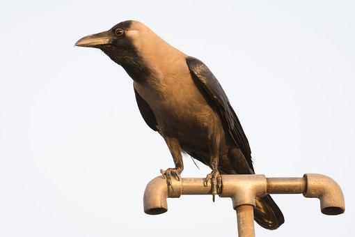 Crow, Black, Nature, Sky, Bird Photography, Nikon, Grey