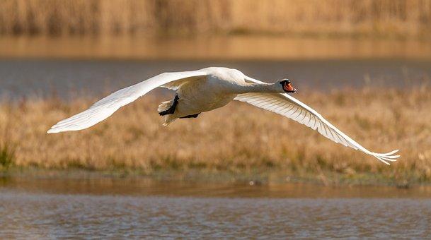 Swan, Flying, In Flight, Flight, Wings, White, Feather