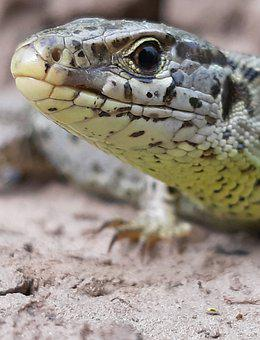 Lizard, Fauna, Nature, Striped, Gray, Green, Animal