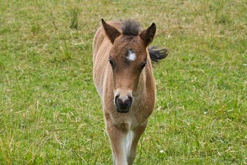Foal, Pony, Pony Foal, Meadow, Pony Farm, Baby Animal