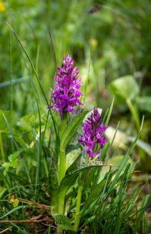 Orchis, Savoie, Mountain, Beaufortain, Flower, Nature