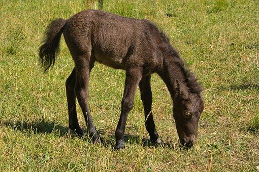 Foal, Young Animal, Pony Foal, Pony Farm, Animal, Horse