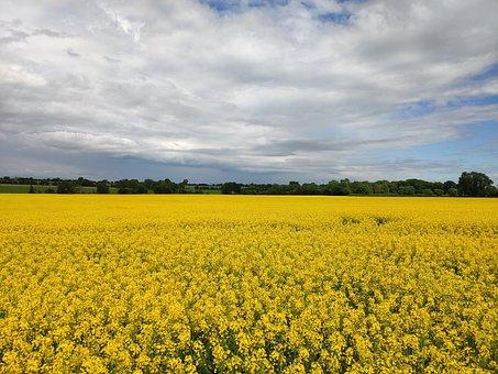 Rapeseed, Canola Field, Field