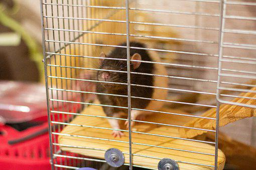 Rat, Cage, An Animal In A Cage, Rat In A Cage, Foot
