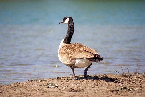 Goose, Lake, Water, Nature, Bird, Sun, Animal, Swim