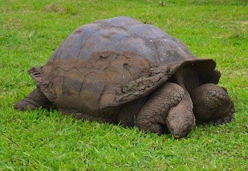 Turtle, Panzer, Tortoise, Reptile, Armored