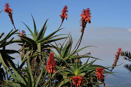South Africa, Flower, Cactus, Plant, Aloe, View
