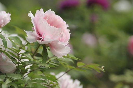 Peony, Flower, Bloom, Blooming, Spring, In Full Bloom