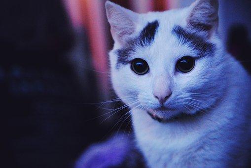 Cat, Housecat, Pet, Animal, Feline, Grey, Fur, Kitty