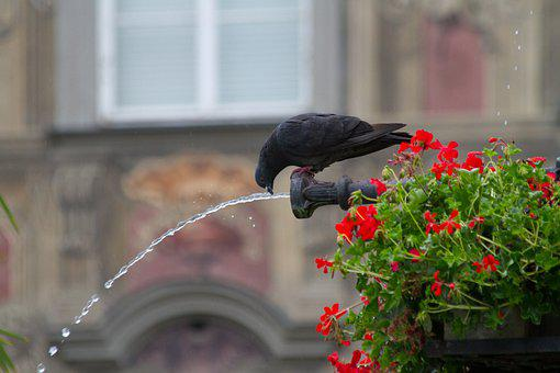 Pigeon, Water, Fountain, Geraniums, Flowers, Silhouette
