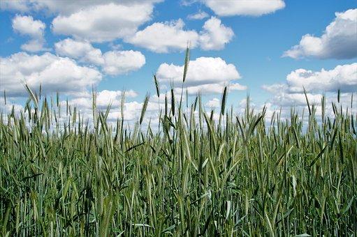 Heaven, Clouds, Field, Green, Blue, Grain, White