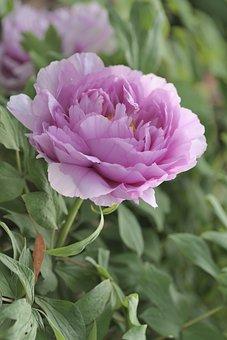 Peony, Flower, Blooming, In Full Bloom