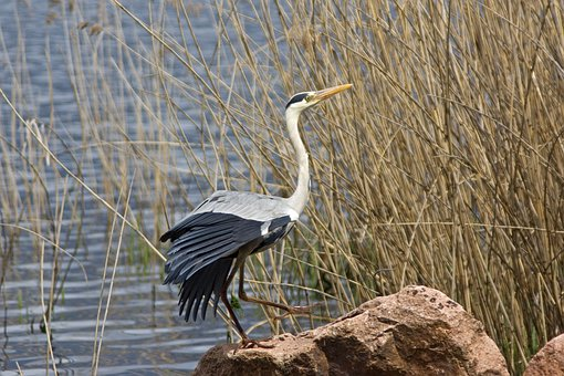 Grey Heron, Bird, Plumage, Elegant, Neck, Lake, Canneto