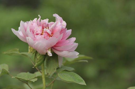 Peony, Flower, Bloom, Blooming