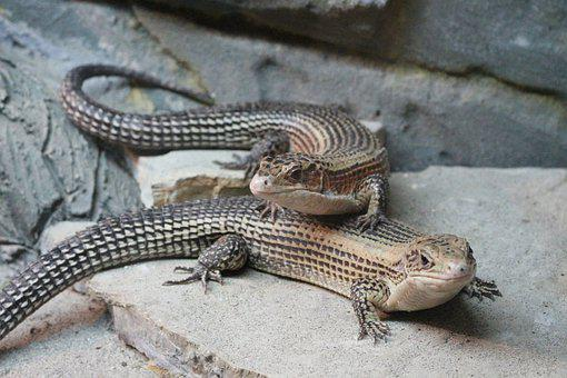 Sudan Plated Lizards, Reptile, Lizard