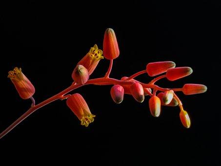 Flower, Flowering, Sukulent, Aloe, Orange, Group, Arch