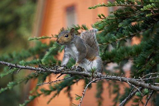 Squirrel, Animal, Tree, Fluffy, Cute, Branch, Grey