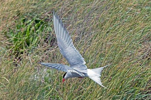 Arctic Tern, Tern, Bird, Nature, Water Bird, Wing