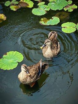 Ducks, Water Lilies, Water, Birds, Pair, Couple, Cute
