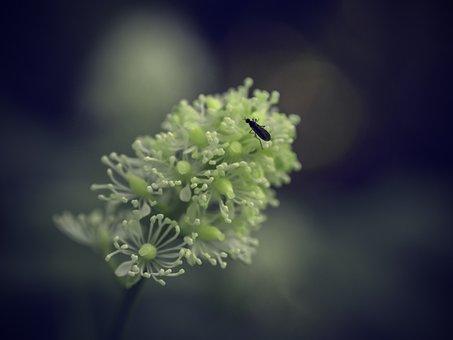 Bane Berry, Flower, Actaea, Spicata