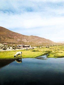 Lamas, Nature, Wildlife, Mountain, Animal, Meadow