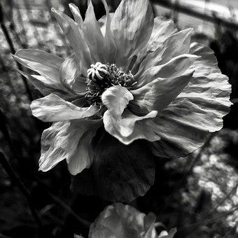 Atlas Poppy, Atlantic Poppy Seeds, Papaver Atlantic