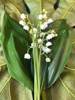 Lily Of The Valley, Leaves, Convallaria Majalis, Bell