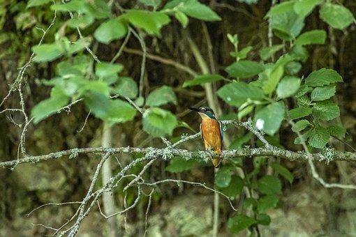 Alcedo Atthis, Common Kingfisher, Tropical, Bird
