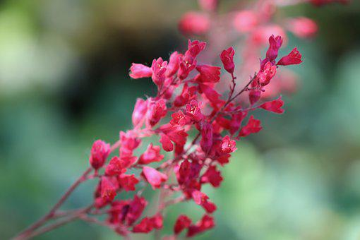 Coral Bells, Inflorescence, Red, Blossom, Bloom