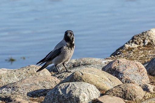 Hooded Crow, Bird, Nature, Branch, Tree, Wildlife