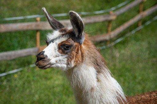 Lama, Pinto, Colorful, Brown, White, Fur, Lama Head