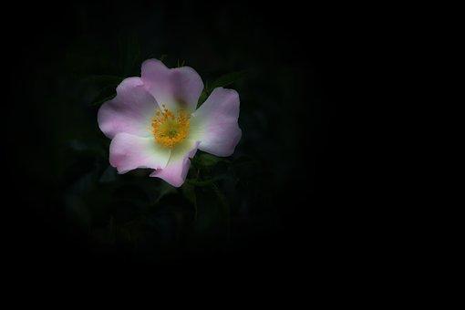 Rose Hip, Rose, Nature, Plant, Bush, Wild Rose, Roses