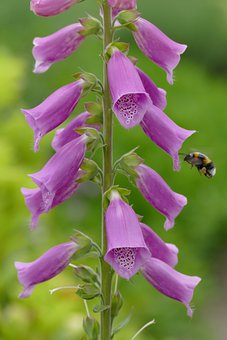 Foxglove, Purple, Chalice, Bumblebee, Bee, Insects