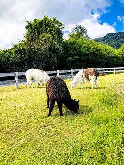 Lamas, Grass, Wildlife, Meadow, Nature, Chile, Travel