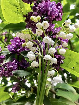 Lily Of The Valley, Lilac, Leaves, Convallaria Majalis