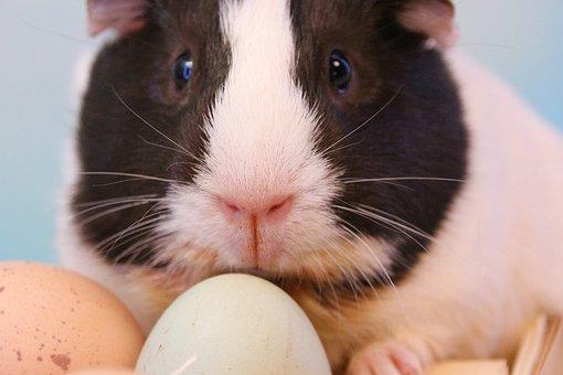 Easter, Guinea Pig, Rodent, Easter Bunny, Egg, Nager