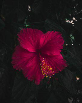 Hibiscus, Flower, Nature, Greenleaves
