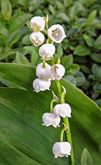 Lily Of The Valley, Flower Panicle, Plant, Flora