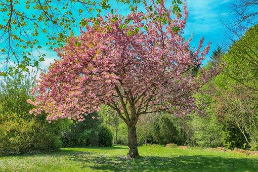Landscape, Cherry, Tree, Flowers, Cherry-in-flowers