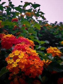 Lantana Camera, Flowers, Five Black Boys