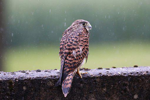 Falcon, Young Hawk, Rain, Wet, Cold, Freilebend