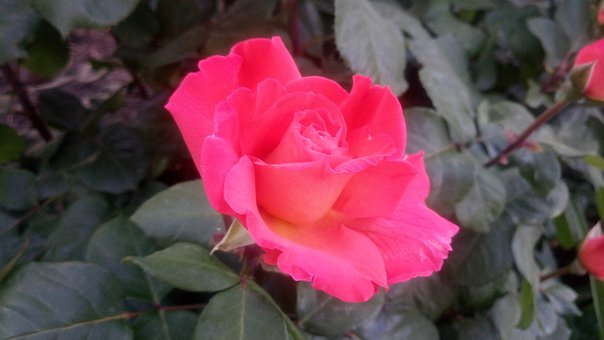 Garden, Bush, Rose, Roses, Pink, Scarlet, Bright