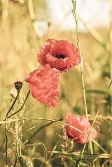 Poppy, Flowers, Meadow, Grass, Red, Colour, Book