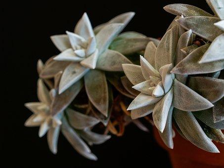Dudleja, Sukulent, Green, Grey, Silver, Background