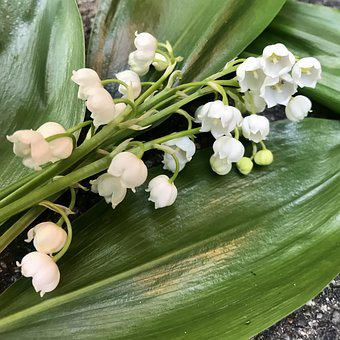 Lily Of The Valley, Leaves