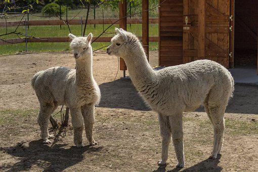 Lama, Two, Animal, Hell, Alpaca, Head, Camel, Mammal
