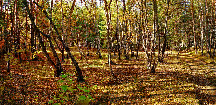 Forest, Autumn, Nature, Forests, Trees