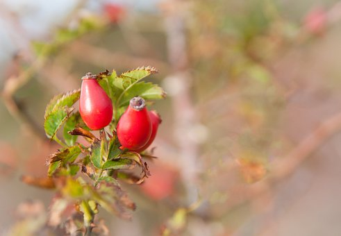 Rose Hip, Tee, Blossom, Bloom, Healthy, Nature, Red