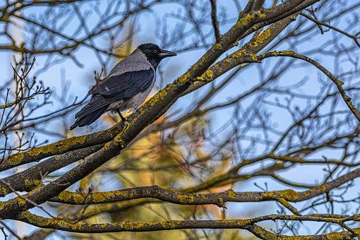 Hooded Crow, Corvus Cornix, Bird, Nature, Branch, Tree